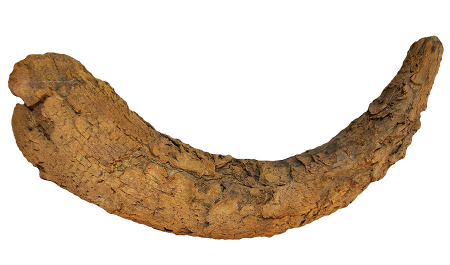 A cattle horn found at a <em>mustatil</em>, suggesting ritual sacrifice. Photo courtesy of the Royal Commission for AlUla.